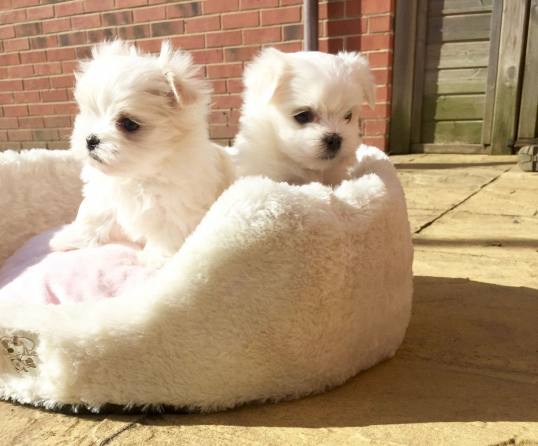 FUNNY, ACTIVE AND CLEAN MALTESE PUPPIES READY FOR ADOPTION